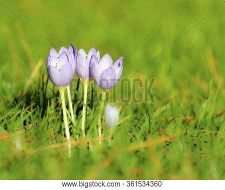 Close Up Of White Crocus Flowers In The Grass During Springtime