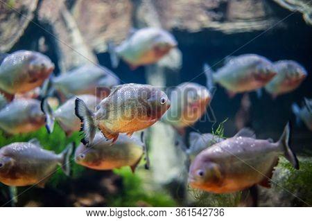 Bright Fish With Sharp Teeth Swim In Sea Water, Piranha Fish In The Aquarium