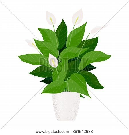 Vector Flat Cartoon Illustration Of A Spathiphyllum Isolated On White Background, Home Plant In A Po