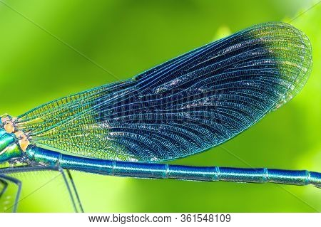 Detail Insect Blue Wings Dragonfly Closeup. Wildlife Dragonfly Close Up Macro