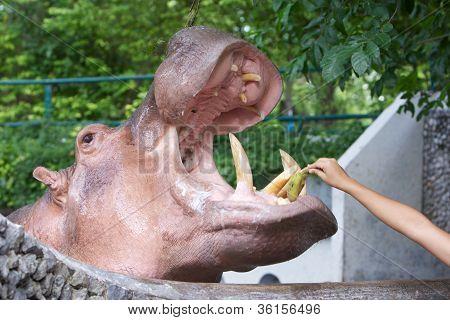 feeding hippopotamus in a zoo by hand