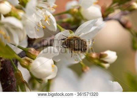 Apple blossom beetle - Tripinota (Epicometis) hirta - a harmful insect that eats the flowers of a fruit tree