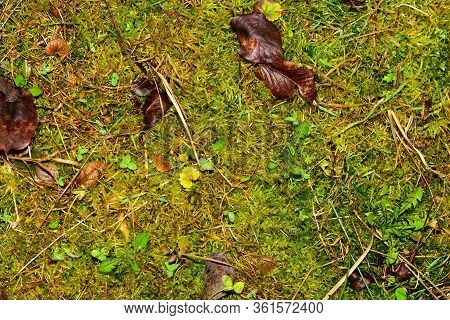 Pattern Of Garden Ground. Wet Grass And Moss Background. High Humidity.