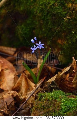 Wild Gentian-blue Scilla Flower On A Dark Background. Vertical. Brown Leaves And Moss On Backdrop.