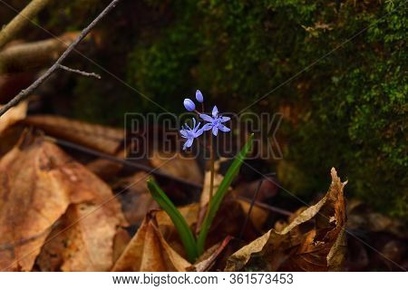 Blue Squill Flower On A Dark Background. Brown Leaves And Moss On Backdrop.