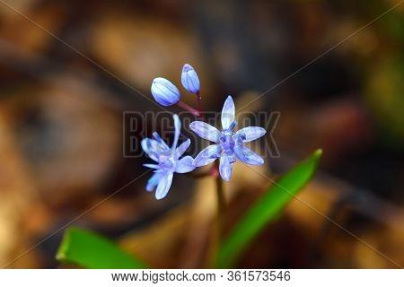 Wild Gentian-blue Scilla Flower Close-up. Brown Background.