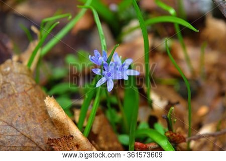 Wild Gentian-blue Scilla Flower With A Forest Ground Backdrop.