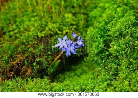 Natural Scilla Flower With Vibrant Moss Microgreens On A Background. Gentian-blue On A Green Color.