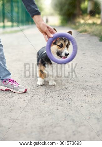 Cute Welsh Corgi Dog Outside With His Owner, Face Of Pet Visible From Puller Toy