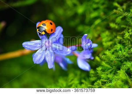 Sleeping Ladybird On A Blue Scilla Flower. Vibrant Green Microgreens On The Background.