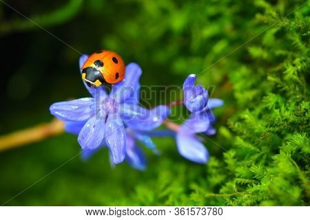 Sleeping Lady Beetle On A Blue Scilla Flower. Vibrant Green Microgreens On The Background.
