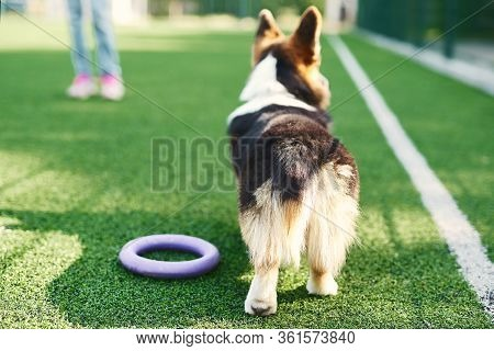 Rear View Of Welsh Corgi Dog Standing On Green Grass Outside, Playing With Toy Puller.