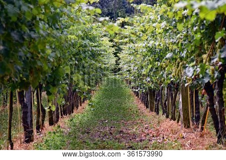 Vineyard In Radebeul In The Federal State Of Saxony In Germany