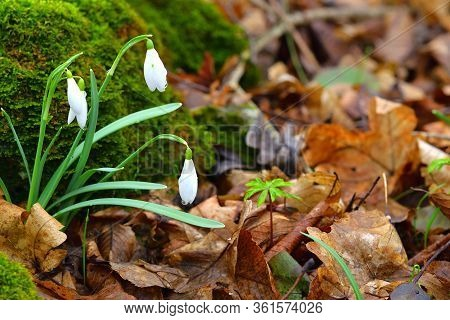 Snowdrop Flowers. Brown Leaves Background. Copy Space On The Right.