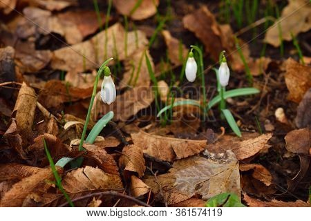 Three Snowdrop Flowers On The Brown Leaves Background.
