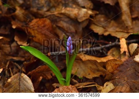 Beautiful Scilla Flower On A Brown Leaves Background. Violet To Gentian-blue Gradient. Centered.