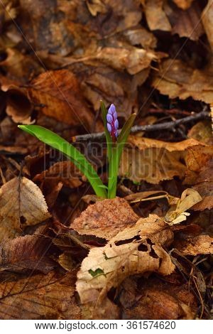 Beautiful Scilla Flower On A Brown Leaves Background. Violet To Gentian-blue Gradient. Vertical.