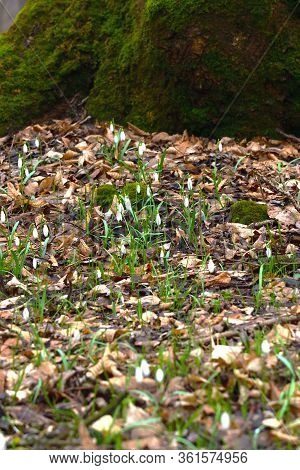 Early Spring Forest Nature. Snowdrop Or Galanthus Flowers On The Bottom Of Moss Covered Tree.  Verti