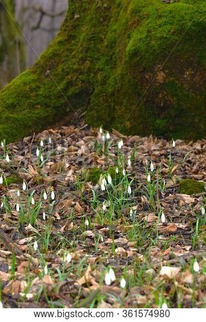 Snowdrop Flowers On The Bottom Of Moss Covered Tree. Early Spring Forest Nature. Vertical.