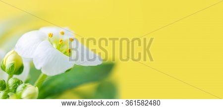 Macro White Flower Alyssum (lobularia Maritima). Soft Focus And Blurry Yellow Background, Copy Space