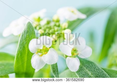 Macro White Flower Alyssum (lobularia Maritima). Soft Focus And Blurry Blue Background, Copy Space.