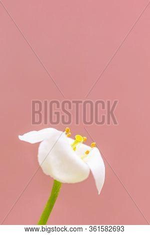 Macro White Flower Alyssum (lobularia Maritima). Soft Focus, Pink Background, Copy Space. The Concep