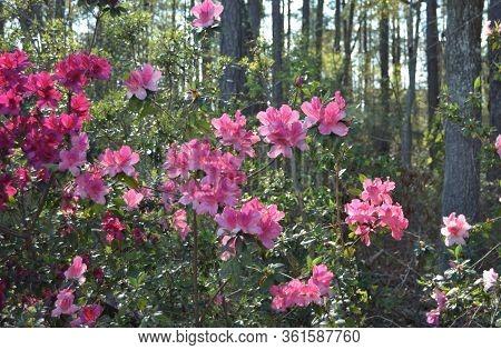 Pink Azalea Flower Shrubs In Backyard Garden