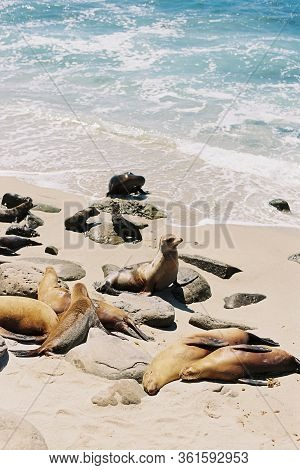 Sea Lions Lying On The Beach And Looking Out At The Pacific Ocean In La Jolla Cove, In San Diego, Ca