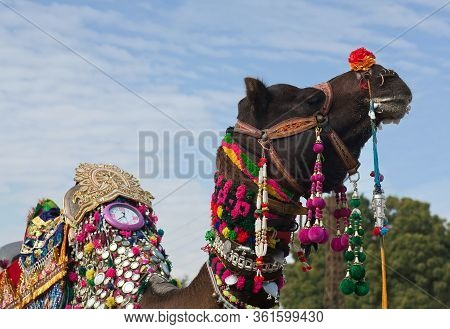 Beautiful Decorated Camel Close Up On Bikaner Camel Festival In Rajasthan State, India. The Camel Fe