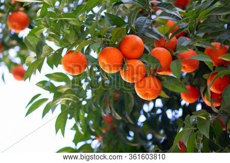 Orange tree with ripe fruits. Tangerine. Branch of fresh ripe juicy oranges with lush leaves in sun beams. Satsuma tree picture. Citrus