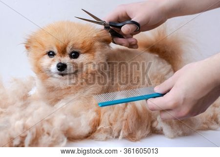 Haircut Pomeranian Close Up Around A Lot Of Wool Hands Holding Scissors And A Comb Pomeranian Pinned
