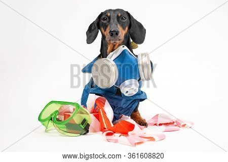 Funny Dachshund Wearing Special Blue Protective Disinfection Suit, Stands On White Background. Speci