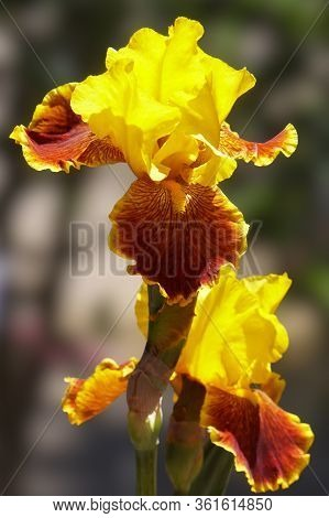 A Gorgeous Yellow Iris With Burgundy Highlights Glows In The Morning Sunlight.