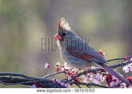 Northern Cardinal Female, Cardinalis Cardinalis, Perched On A Flowering Plum Tree In Spring