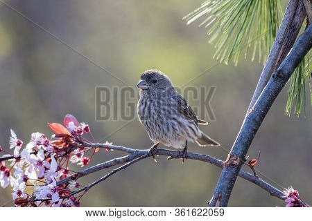 House Finch Female, Haemorhous Mexicanus, Perched On A Flowering Plum Tree In Spring