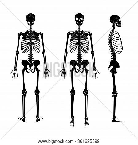 Human Man Skeleton Anatomy In Front, Profile And Back View. Vector Isolated Flat Illustration Of Sku