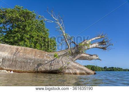 Fallen Big Baobab Tree In Sea Water On The Beach In Zanzibar Island, Tanzania, Africa