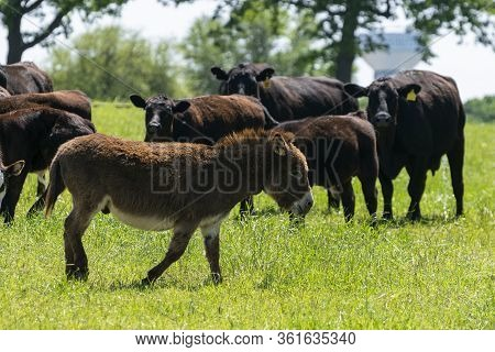 A Cute, Chocolate Brown, Fuzzy Miniature Donkey Walking Through A Ranch Pasture Full Of Green Grass