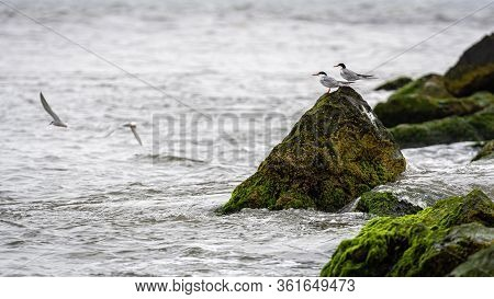 Sea Birds On Rocks Covered With Seagrass And Mud On The Ocean Coast