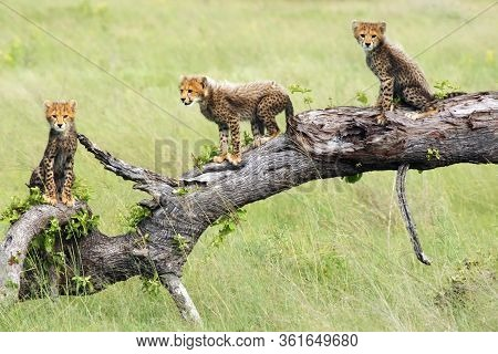 The Cheetah (acinonyx Jubatus), Also Known As The Hunting Leopard, Cubs On A Slant Dry Tree. Cheetah