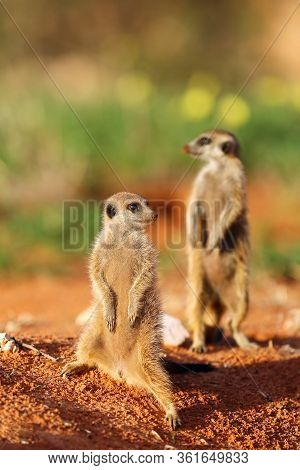 The Meerkat Or Suricate (suricata Suricatta) Patrolling Near The Hole. Two Individuals Standing In T