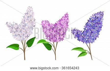 Lilac Or Syringa Flowers With Showy Blossom Isolated On White Background Vector Set