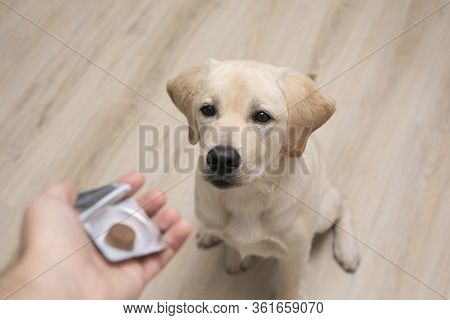Vet Giving Pill To Obedient Dog. Tick And Flea Prevention For Dog