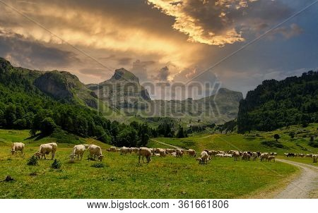 Herd Of Cows In The Alpine Pastures, Pic Du Midi D'ossau At The Bottom