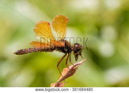 Eastern Amberwing dragonfly eating a bug while resting on an oak leaf tip