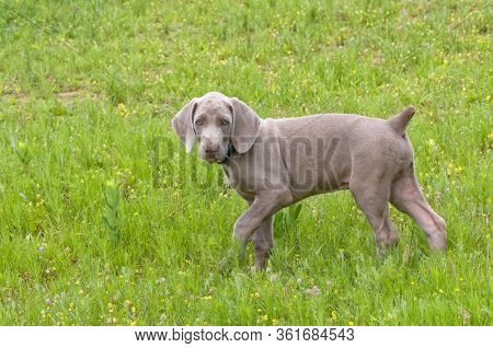 Adorable young Weimaraner puppy walking in grass, looking at the viewer
