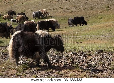 Yaks Grazing On Grass At The Entrance To Yoliin Am