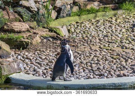 Humboldt Penguins At The Zoo, Milton Keynes, Uk