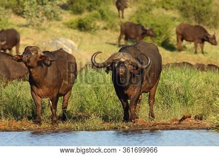 The African Buffalo Or Cape Buffalo (syncerus Caffer) Herd Of Buffalo On The Shore Of Waterholes.