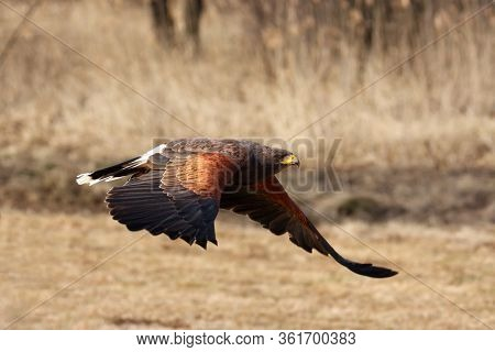 The Harris's Hawk (parabuteo Unicinctus) Formerly Known As The Bay-winged Hawk Or Dusky Hawk Flying